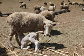 A baby lamb kneels down to feed from its mother