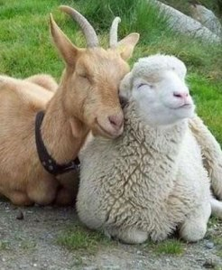 A goat and a sheep