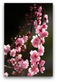 peach blossom (桃花) brings prosperity and romance
