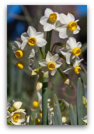 narcissus (水仙花) brings joy. It is a symbol for our hidden talents to bloom.