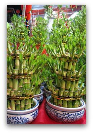 Lucky bamboo (富貴竹) is symbolic of a strong life that is filled with prosperity