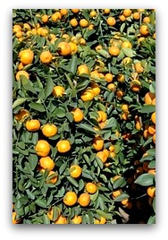 Kumquat (金橘) brings properity and good luck