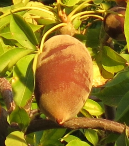 A fresh boab fruit