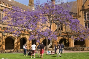 The solitary old jacaranda tree in the quadrangle of the University of Sydney