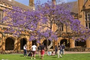 The solitary old jacaranda tree in the quadrangle of the University of Sydney