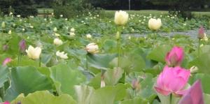 Lotus-Pond (1087x540)