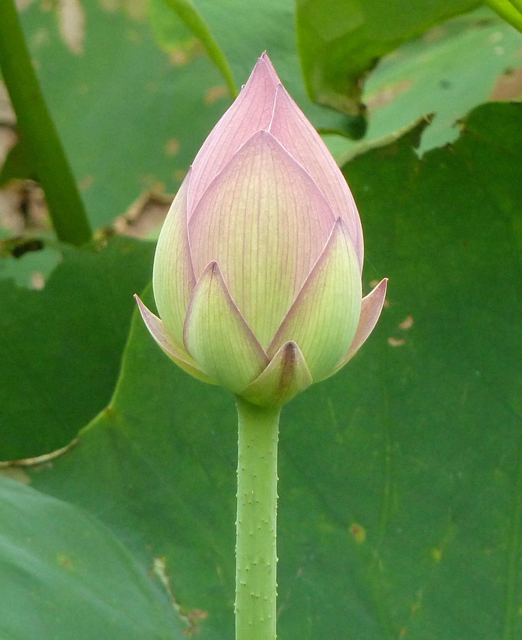 Lotus flowers and leaves patrick siu chinese flower bud izmirmasajfo