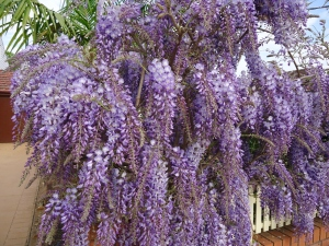 Wisteria flowers in full bloom.