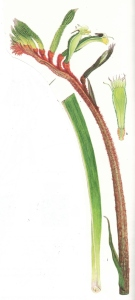Anigozanthos manglesii, i. inflorescence and lower part of leaf, k, opened flower,
