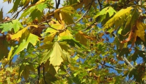 The leaves of the plane tree turned yellow