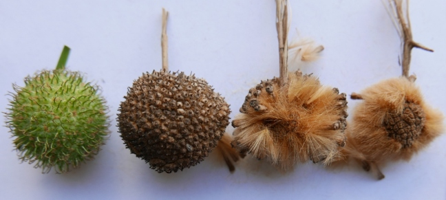 The sequential development of a female flower head to a ripe fruit with dry achenes dispersed (from left to the right)