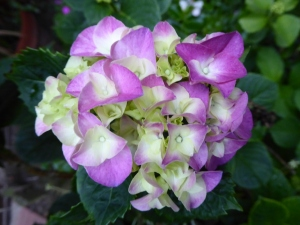Inflorescence of Hydrangea with lilac 'flowers'