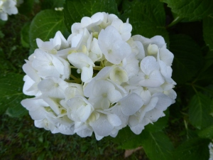 Inflorescence of Hydrangea with white 'flowers'. (Please note the white structures are not petals!)