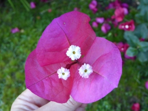 Three white flowers surrounded by tree purple red bracts