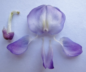 The 5 petals are detached from the flower, 2 of them fused together at the top. On the top right corner are 10 stamens (male parts).