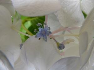 The purple flower has 5 purple petals, 5 sepals, 10 stamens and 3 stigmas.