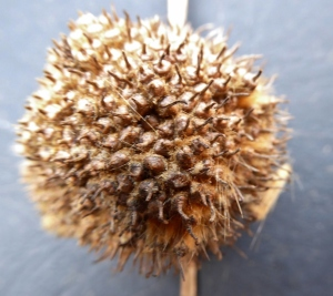 The female flowers become achenes that form an aggregate ball. The ball is 2.5–4 cm in diameter.