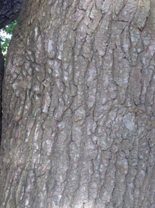 The bark of the tree trunk of Liquidambar containing many cracks