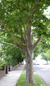 A plane tree planted in a Sydney street