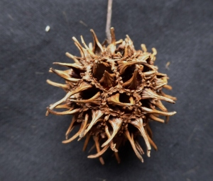 A dried fruit formed from a flower head of the previous year