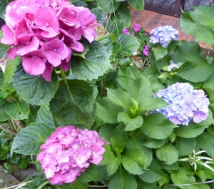 A purple flower plant is planted together with a pink flower plant under soil of the same pH, their different phenotypes can still be expressed differently.