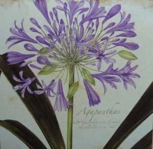 A botanical drawing of Agapanthus - on a table mat.