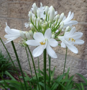 Agapanthus with white flowers with yellow anthers