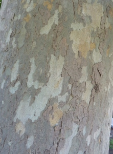 The bark of the stem has a mottled and scaly appearance. The colour is pale grey and cream white.