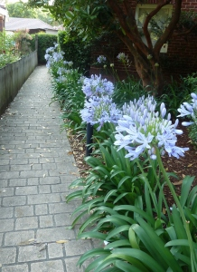 Agapanthus plants lining a pathway