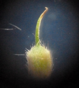 A single flower has been separated from the flower head. The stigma at the top has dried out as seen under a microscope.