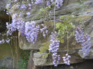 Leaves and inflorescences from the climbing vine of Wisteria.