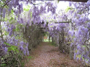 This walkway is surrounded by Wisteria flowers.
