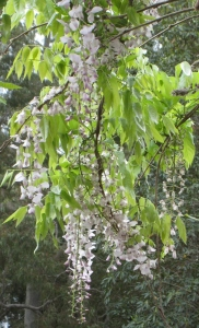 Wisteria with white flowers