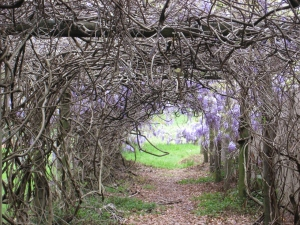 Wisteria vines climb by twining their stems round any available support such as the pillars of a pergola.