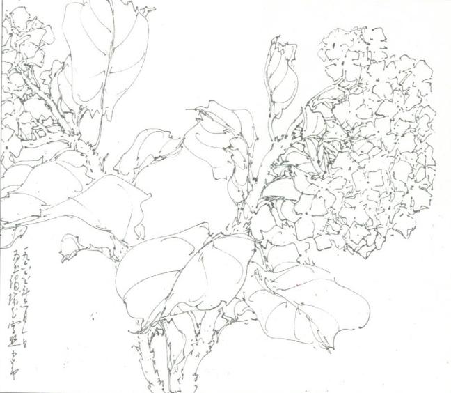 Chao Shao-ang (趙少昂) (1905 – 1998), a sketch of Hydrangea