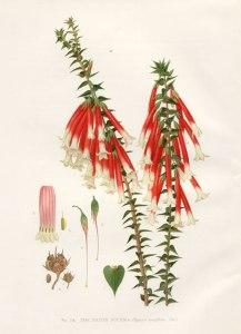 epacris-longiflora