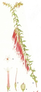 From Morley, B.D. & Toelken, H.R. (1983) Flowering Plants in Australia , Rigby
