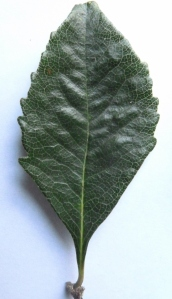 Leaf: Rhomboid in shape, 5 to 10 cm long and 4 to 7 cm wide. Midrib, lateral and net veins easily seen on both the upper and lower leaf surface.