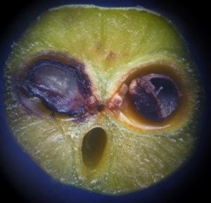 The fruit above is cut transversely open to view the developing seeds. 2 seeds inside this fruit.