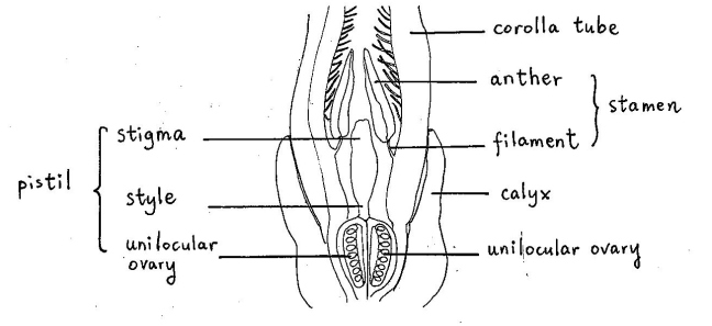 Drawing of the stamens and pistil