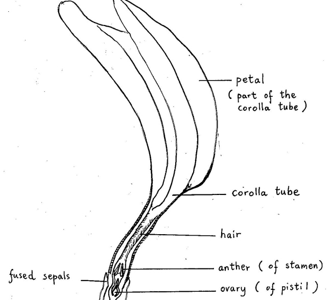 Drawing of the half flower