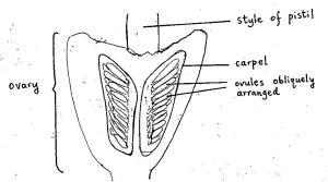 ls ovary