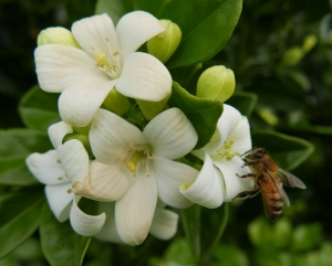 A honey bee is attracted to the flowers