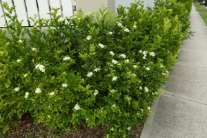 A hedge made up of orange jessamine