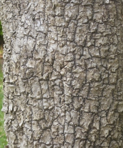 The bark of the stem
