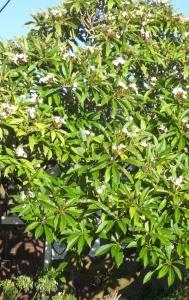 A mature Plumeria tree