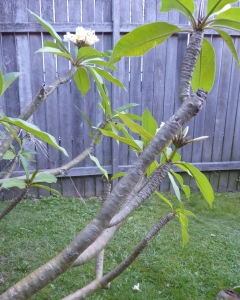 The plant has gnarled and knotty branches with long leaves