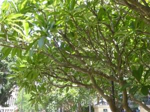 An old Plumeria tree