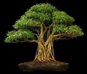 A bonsai of Ficus microcarpa. Image comes from http://www.bonsaioutlet.com/ficus-bonsai-care/