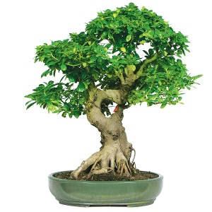A bonsai of Ficus microcarpa. Imagers from http://www.bonsaioutlet.com/ficus-bonsai-care/ Black photo : http://www.bonsaitreegardener.net/types/ficus ,